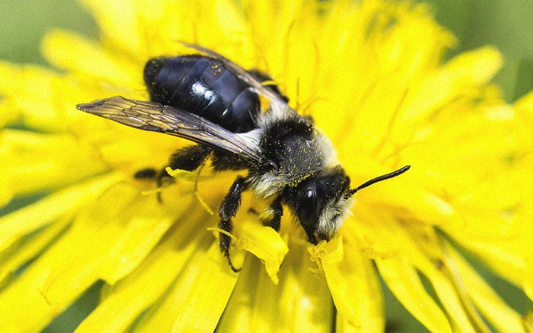 Un jardin pour les abeilles sauvages
